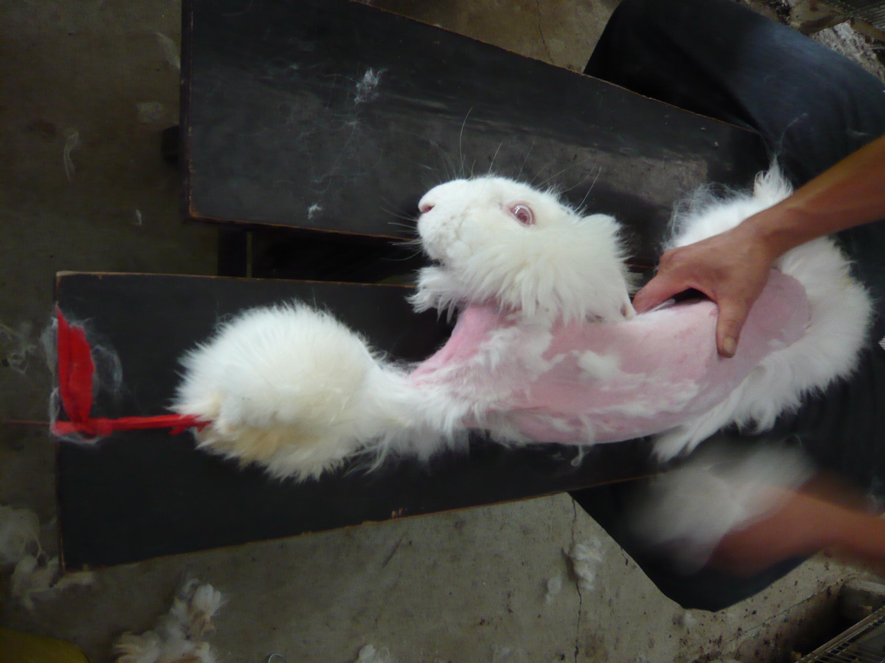 H&M、アンゴラ製品の生産を永久に停止! | 動物実験の廃止を求める会 ...