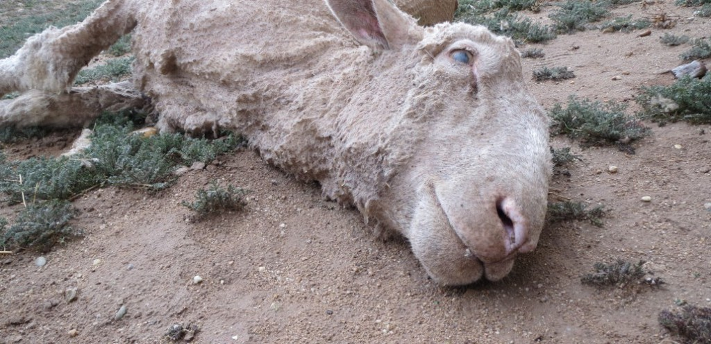ウールの犠牲になる羊